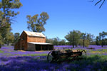 Purple Wildflowers  SUrround a Homestead